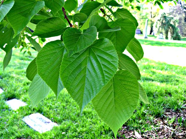 Picture of Tilia americana  American Linden