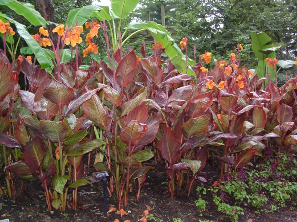 Picture of Canna indica 'Phasion' Tropicanna Canna