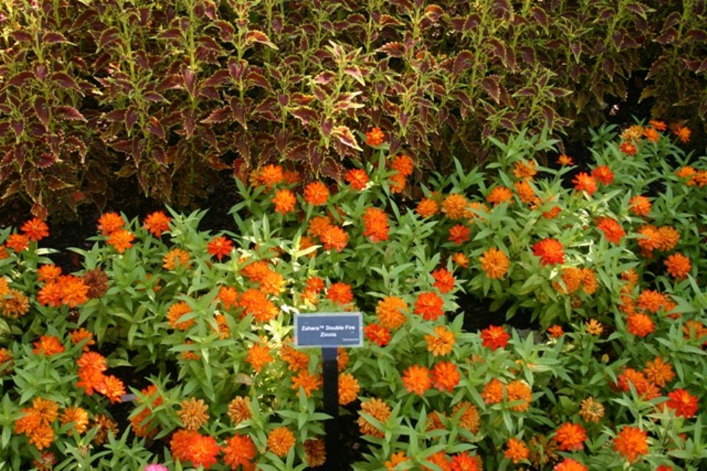 "Picture of Zinnia  'Zaharaâ""¢ Double Fire' Zaharaâ""¢ Double Fire Zinnia"