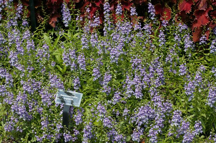 "Picture of Angelonia angustifolia Statuesqueâ""¢ Blue"