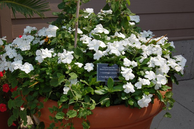 Picture of Catharanthus roseus 'Titan Pure White' Titan Pure White Vinca