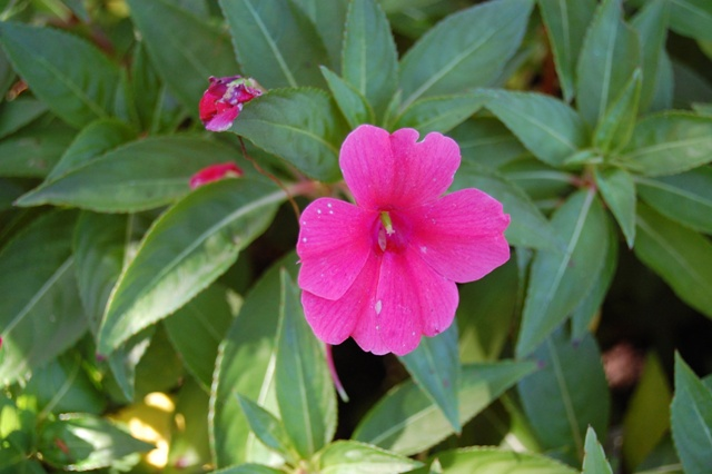 "Picture of Impatiens walleriana 'Fanfareâ""¢ Bright Coral Trailing' Fanfareâ""¢ Bright Coral Trailing Impatiens"