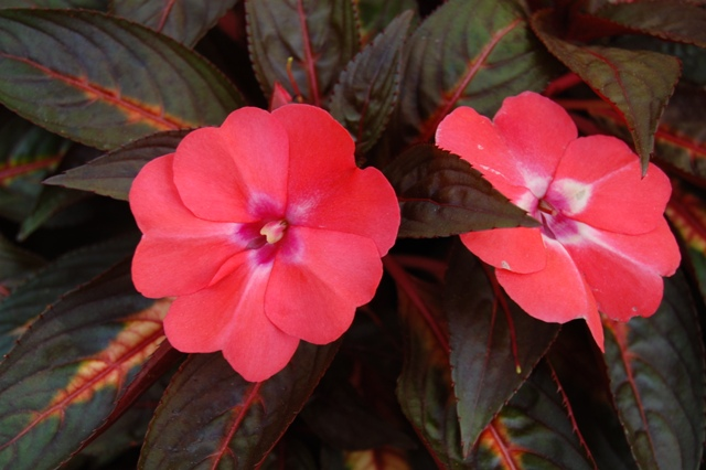 Picture of Impatiens hawkeri Celebration Light Coral Celebration Light Coral New Guinea Impatiens