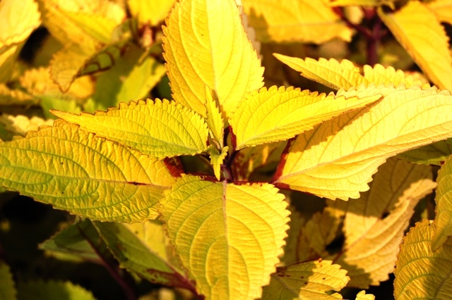 Picture of Solenostemon scutellarioides 'Pineapple' Coleus