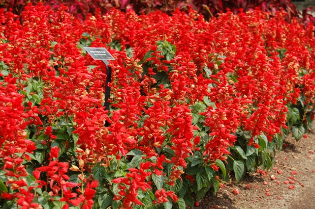 Picture of Salvia splendens 'Red Hot Sally' Red Hot Sally Sage