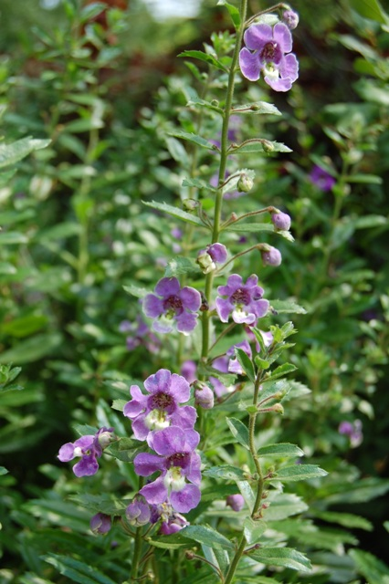 Picture of Angelonia angustifolia Angelface® Blue