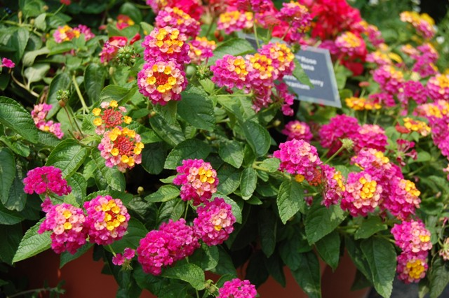 Picture of Lantana camara Landmark Rose Sunrise