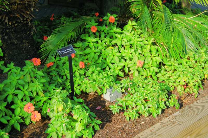 "Picture of Impatiens walleriana 'Fanfareâ""¢ Orange Trailing' Fanfareâ""¢ Orange Trailing"