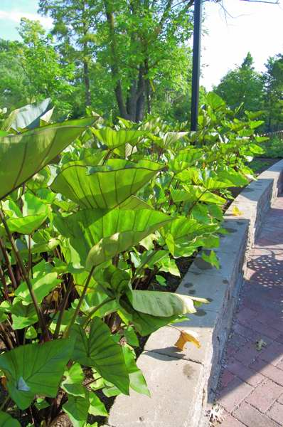 Picture of Colocasia esculenta 'Coffee Cups' Coffee Cups Elephant Ear