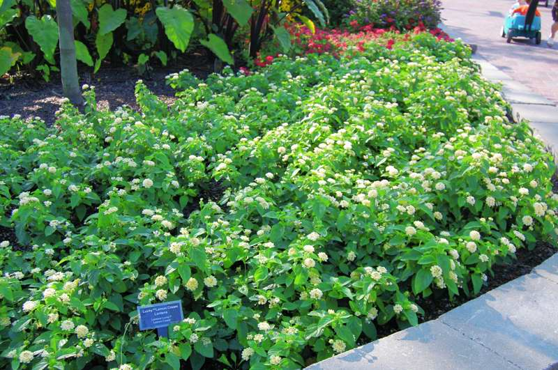Picture of Lantana camara Lucky Lemon Cream