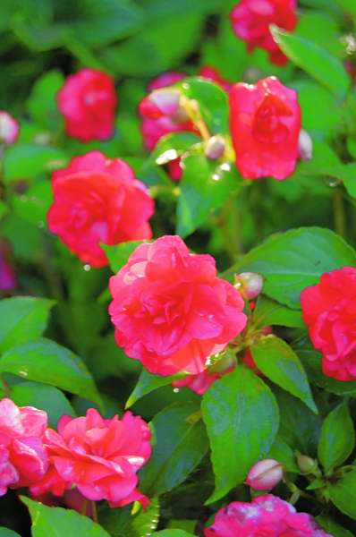 Picture of Impatiens walleriana 'Rockapulco Red' Rockapulco Red Double Impatiens
