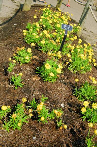 Picture of Bracteantha bracteatum Dreamtime Yellow Jumbo Strawflower Strawflower