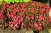 Photo of Genus=Impatiens&Species=hawkeri&Common=New Guinea Impatiens&Cultivar=Infinity Cherry Red