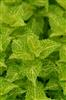 electriclimecoleus_4(Medium).jpg