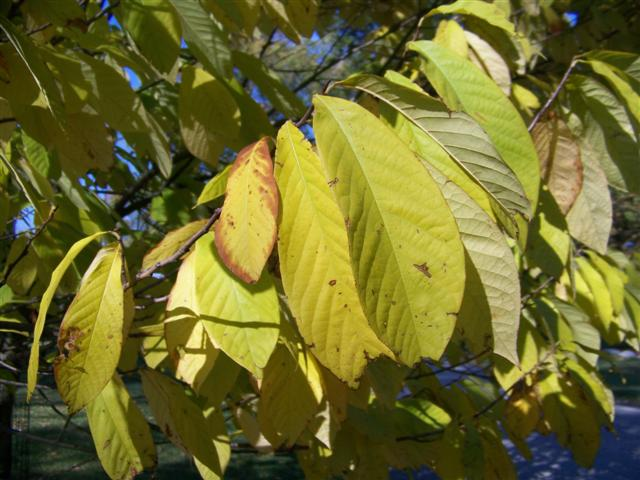 Picture of Asimina triloba  Common Pawpaw