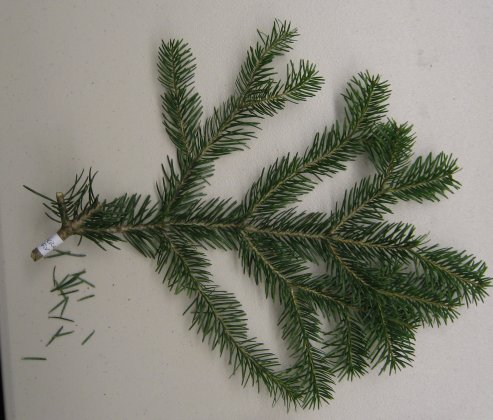 Abies cilicica Abies_cilicica_cutting_2.jpg