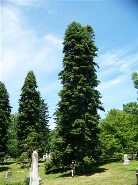 Abies cilicica Abiescilicica(Medium).jpg