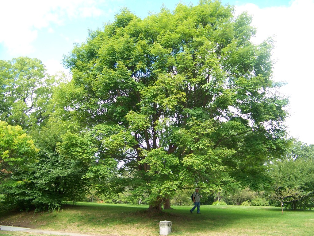 Picture of Acer griseum x nikoense  Girard's Hybrid Maple