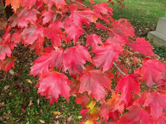 Picture of Acer rubrum 'Autumn Radiance' Autumn Radiance Red Maple