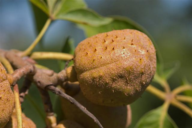 Picture of Aesculus glabra  Ohio Buckeye