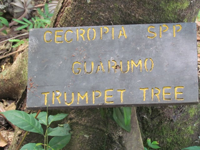 Cecropia obtusifolia CostaRicaCecropiaGuarmoSign.JPG