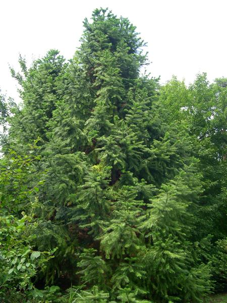 Picture of Cunninghamia lanceolata  Chinafir