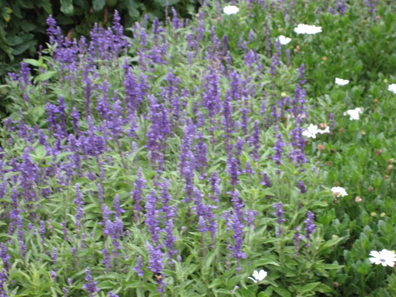 Salvia farinacea Salvia_farinacea_far.JPG