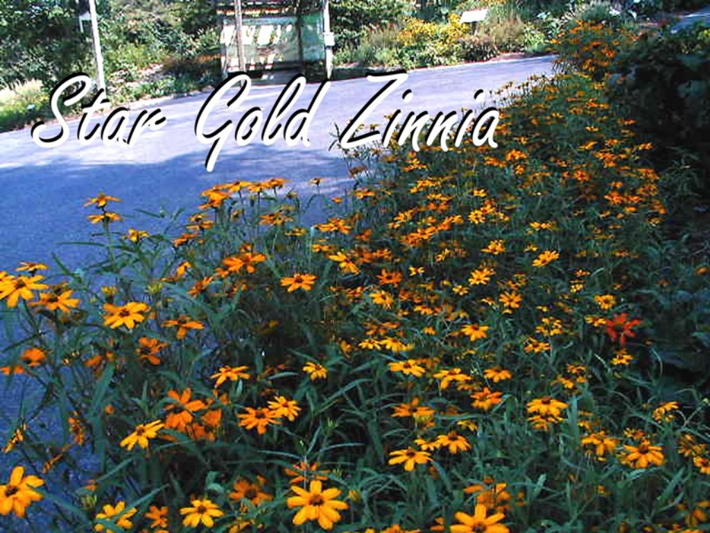 Picture of Zinnia augustifolia 'Star Gold' Star Gold Zinnia
