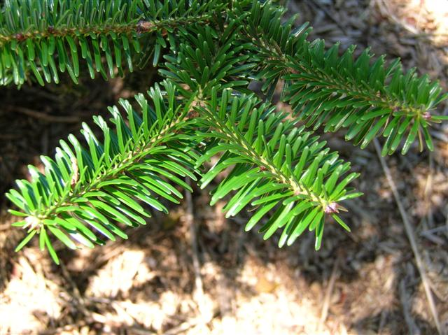 Picture of Abies cilicica  Cilician Fir
