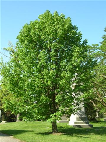 Aesculus glabra aesculusglabrasg(Small).jpg