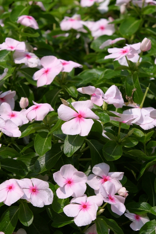 Picture of Catharanthus roseus 'Extreme Soft Pink' Extreme Soft Pink Vinca