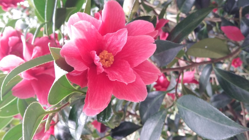 Camellia williamsii plantplacesimage20150301_123246.jpg