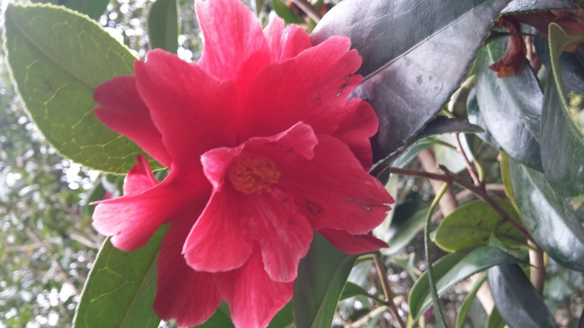 Camellia williamsii plantplacesimage20150301_123333.jpg