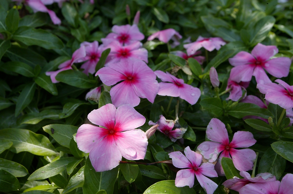 Picture of Catharanthus roseus 'Mediterranean Strawberry XP' Mediterranean Strawberry XP Vinca