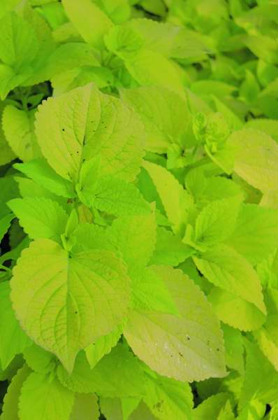 Picture of Solenostemon scutellarioides 'Colorblaze® Life Lime' Colorblaze® Life Lime Coleus